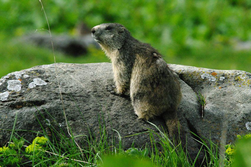 marmotte bastan
