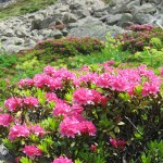 rhododendron Bastan